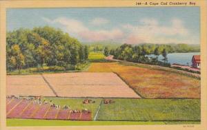 Massachusetts A Cape Cod Cranberry Bog 1953 Curteich