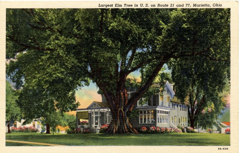 OH - Marietta. Largest Elm Tree in the USA