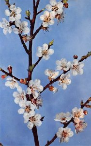 Glass Related Post Card Prunus Armeniaca, Linn. Flowering Branch of an Aprico...