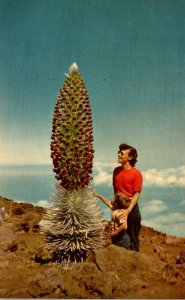 Hawaii Maui Haleakala Silverswords In Bloom