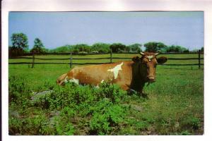 Cow Sitting in Field, Morehead City North Carolina