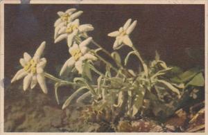 Flowers Switzerland Edelweiss