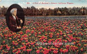 Field of Burbank's Crimson California Poppies