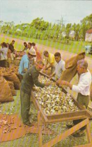 Fiji Copra Production Sorting and Grading Copra