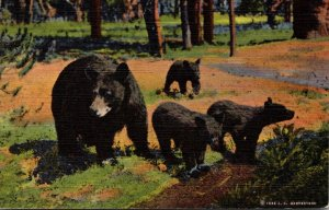 Yellowstone National Park Mother Bear and Her 3 Cubs 1947Curteich