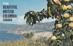 Peach Orchards In The Sunny Okanagan Valley, British Columbia, Canada, 1950-1...