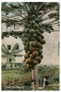 Papaia Papaya Tree Postcard Honolulu Hawaii Posted 1909 HNL