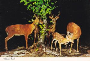 Canada Whitetail Deer Midnight Snack