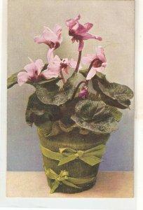 Beautiful flowers. Cyclamen Persicum, in flowers pot Nice vintage PC