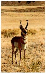 Pronghorn, Antelope