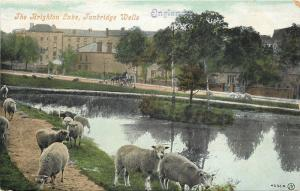 Tunbridge Wells England~Sheep Roam And Graze Around Brighton Lake~1906 Postcard