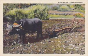 Hawaii Water Buffalo and Plow Curteich