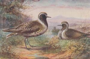 Golden Plover Antique Bird Birds Postcard