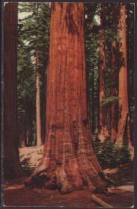 Sequoia Gigantea,Yosemite,CA Postcard BIN