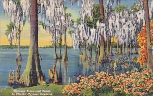 Cypress Trees And Knees In Florida Cypress Gardens Curteiclh