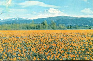 Washington Mount Rainier and Field Of Golden Daffodils