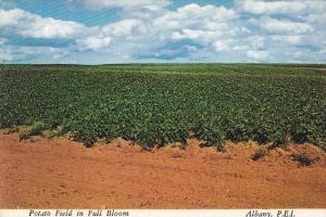 A Potato Field in Full Bloom, Albany, Prince Edward Island, Canada, 50-70´s