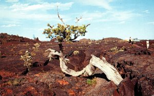 Idaho Craters Of The Moon National Monument Triple Twist Tree