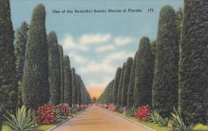 Cedar Tree Lined Street In Florida