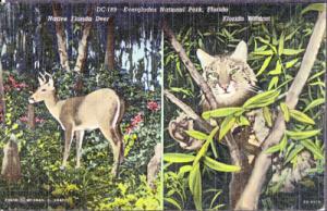 EVERGLADES NATIONAL PARK, split view shows native Florida deer & Florida wildcat