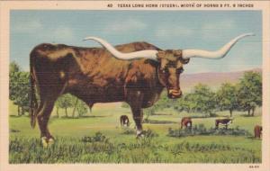 Texas Long Horn Steer Width Of Horns Over 9 Feet 6 Inches Curteich