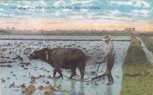 Hawaii Hawaiian Islands Cultivating Rice Field With Water Buffalo