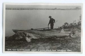 RPPC of a 1500 Pound Sturgeon Caught in Snake River near Ontario OR