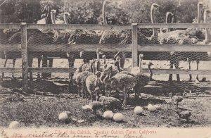 California Los Angeles Scene At Cawston Ostrich Farm 1906 sk6401