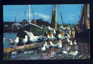 Cape Ann, Massachusetts/MA Postcard, Seagulls Feasting On Fish Scraps