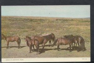 Animals Postcard - A Group of Dartmoor Ponies   T7177