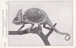 Chamaeleon Lizard , 00-10s