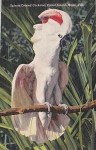 Florida Miami Sulphur Crested Cockatoo Parrot Jungle Red Road Curteich