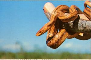 Snake - Yellow Rat Snake