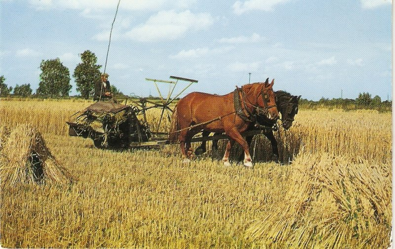 Harvesting in Norfolk. Horses· Niceviontage English  postcard