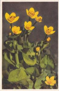 Switzerland Caltha Palustris Marsh Marigold Alpine Flowers
