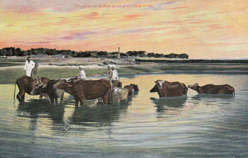 Cows in Nile River , Egypt , 00-10s