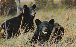 Tennessee Great Smoky Mountains National Park Native Black Bears