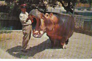 Hippopotamus San Antonio Zoo San Antonio Texas 1965