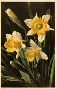 Flowers -   Daffodill                            (Thor & Gyger #1660)