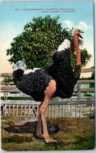 1911 So. Pasadena, California Postcard CAWSTON'S OSTRICH FARM Major McKinley