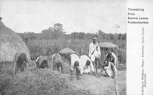 Sierra Leone Protectorate, Threshing Rice, Postcard