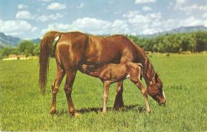 Horse with young colt. Dinner Time Nice Smerican Postard 1950/60s
