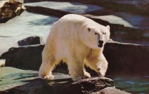Alaska An Alaskan Polar Bear