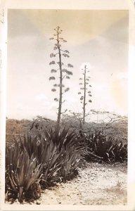 Aruba Post card Old Vintage Antique Postcard Aruba Plants Real Photo Unused