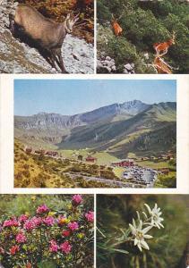 Liechtenstein Muli View Gemse Hirsch Alpenrosen und Edelweiss