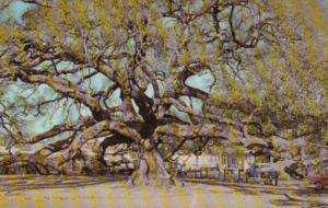 Florida Trees The Nighty Treaty Oak In Jacksonville