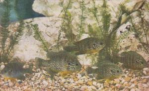 Illinois Chicago John G Shedd Aquarium Pumpkinseed Sunfish