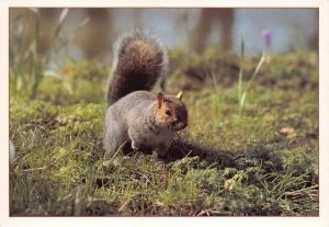 Postcard The American Grey Squirrel by J. Arthur Dixon Ltd (PGR00887) I43