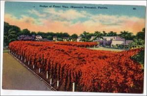 Hedge of Flame Vine, Fl