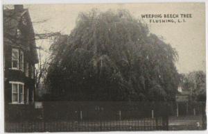 Weeping Beech Tree Flushing NY -vintage-